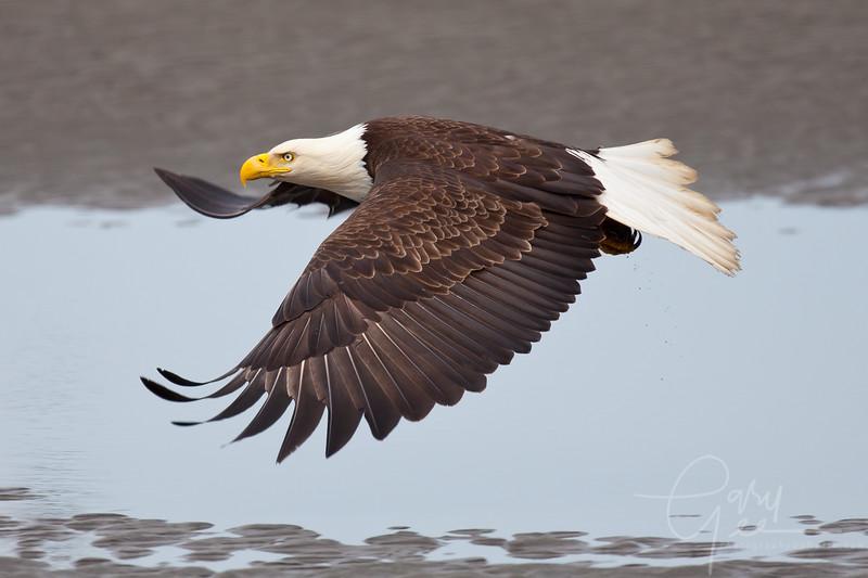 Eagle_Alaska16-