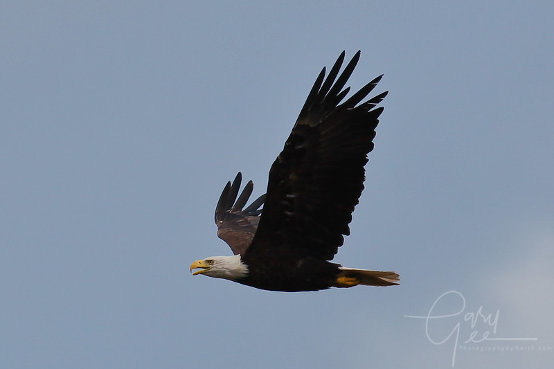Bald Eagle Marquette, MI