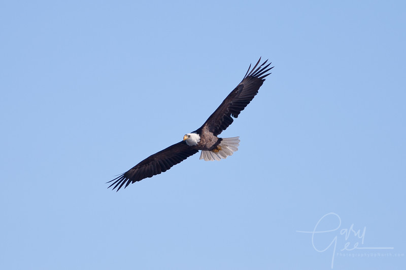 1Bald Eagle 47