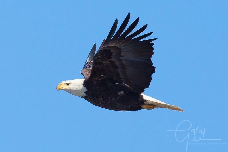 Bald_Eagle-22