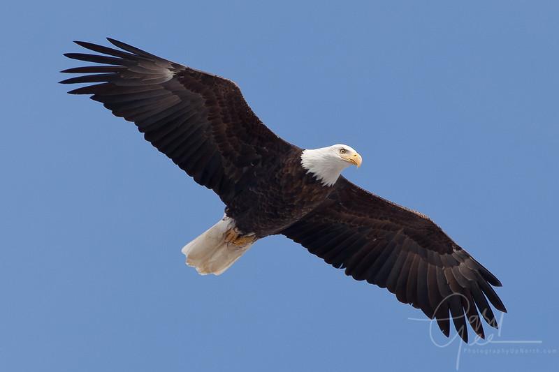 Bald Eagle Burlington, Iowa