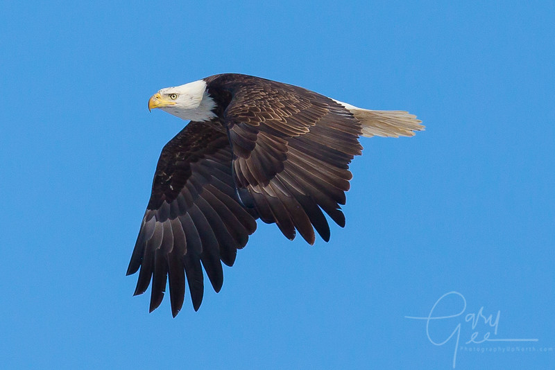Bald_Eagle-24