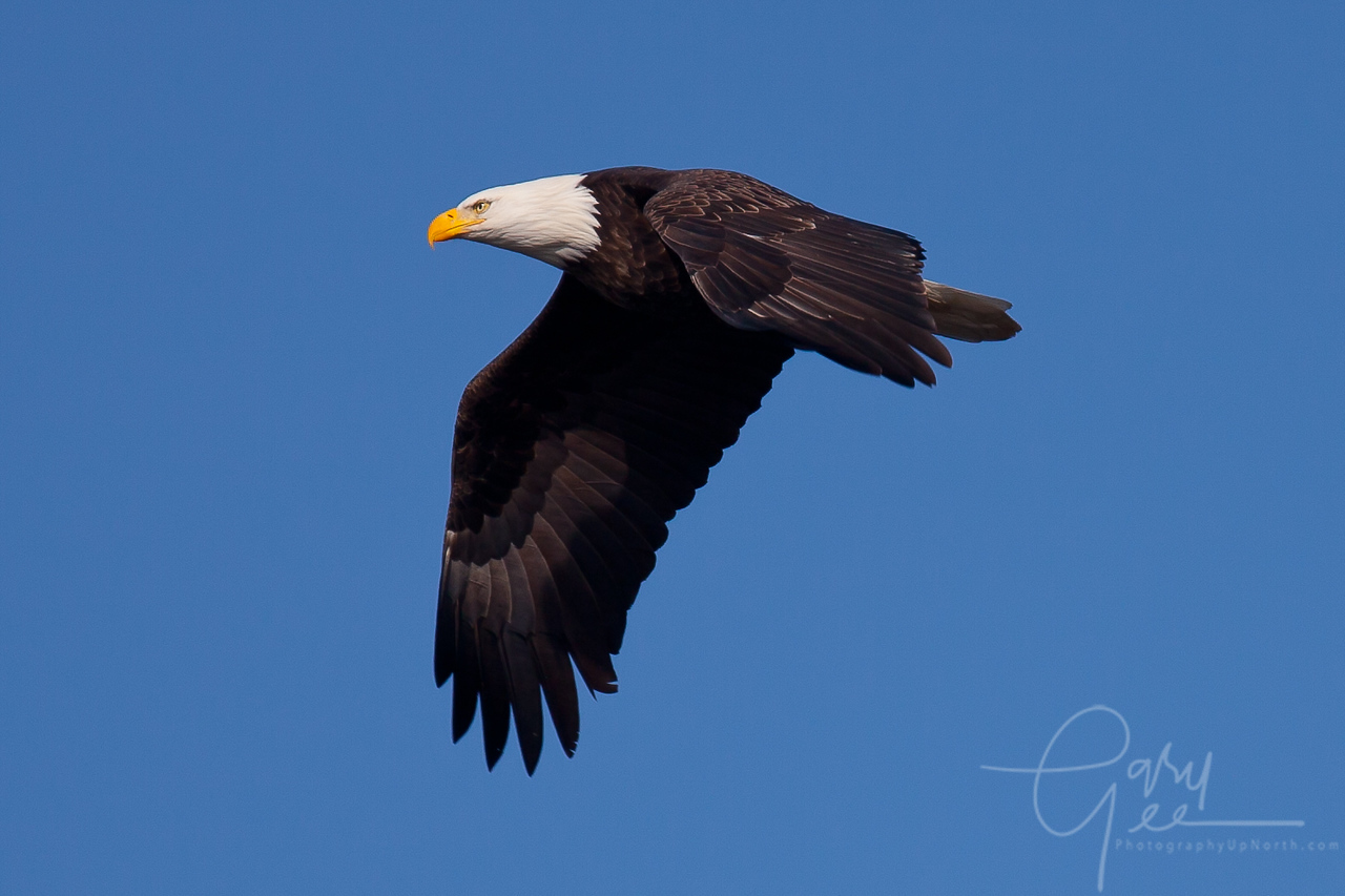 Bald Eagle passes by