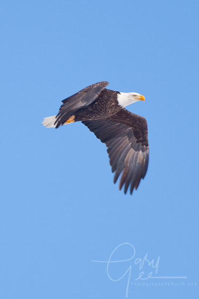 Bald Eagle gliding by