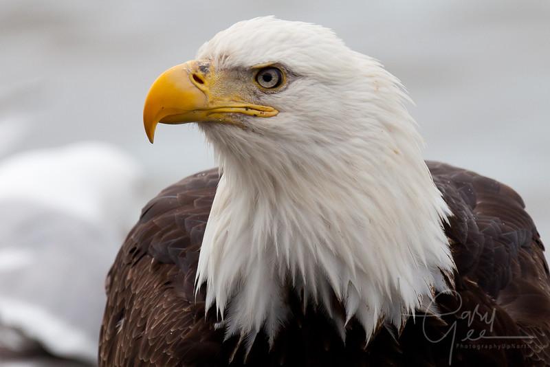 Eagle_Alaska35