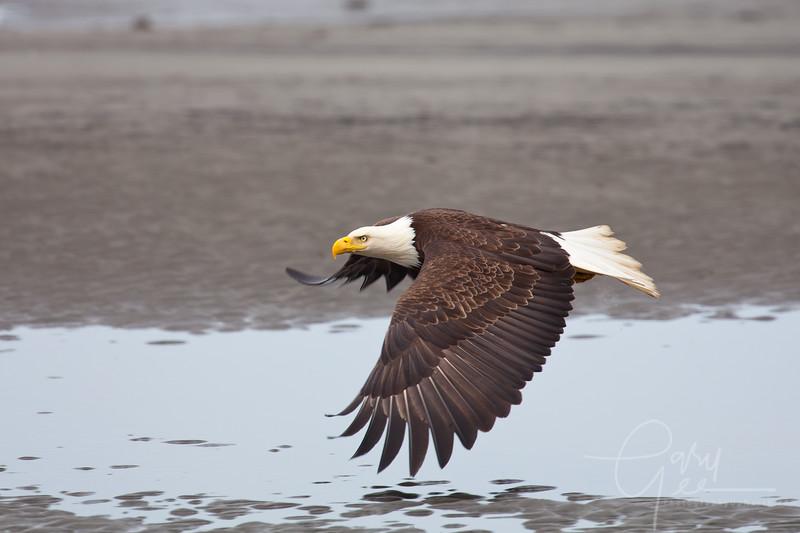 Eagle_Alaska14-