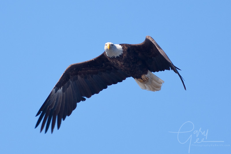 Bald Eagle - think he's locked on me now...don't move!