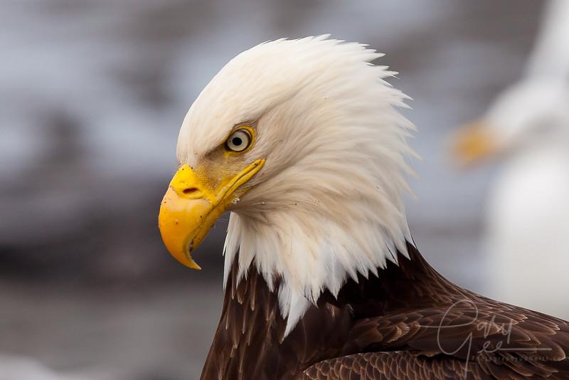 Bald Eagle Close up