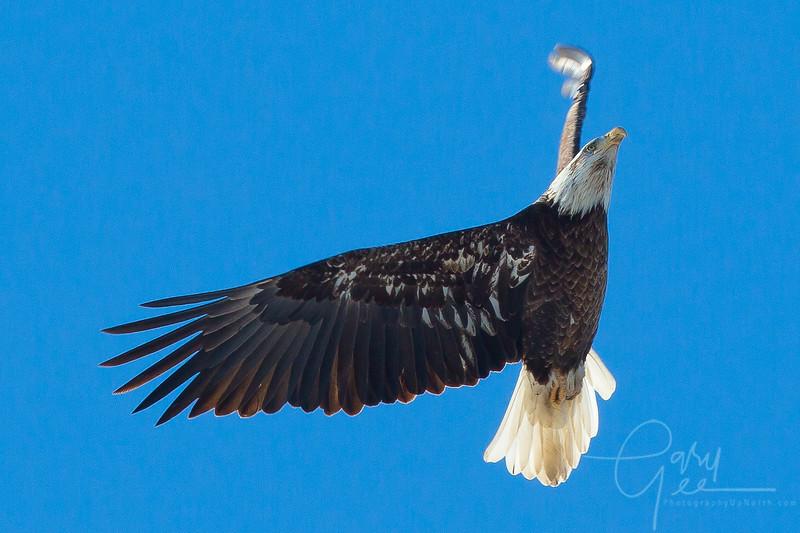 Bald_Eagle-42