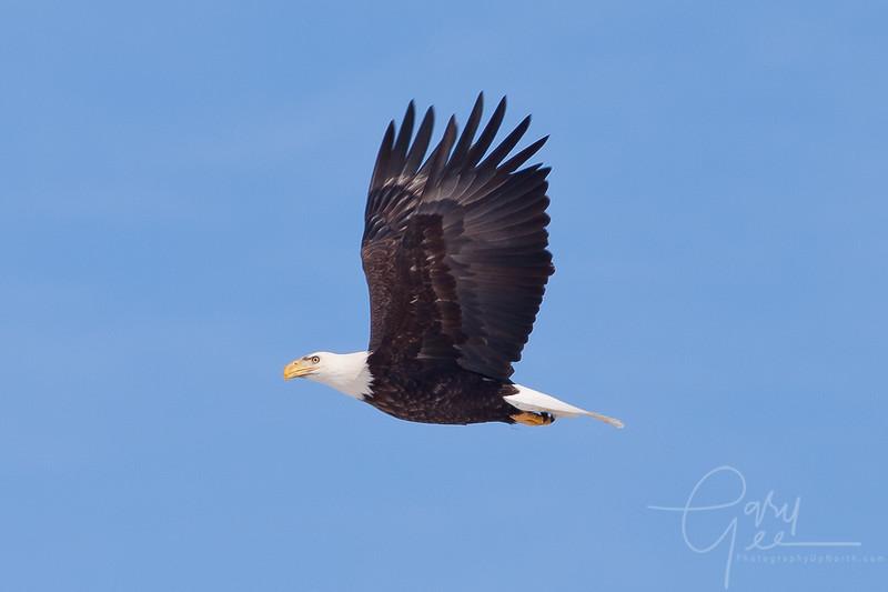 1Bald Eagle 53