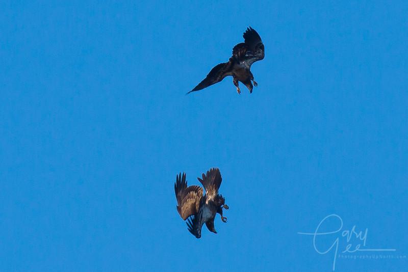 Bald_Eagle-38