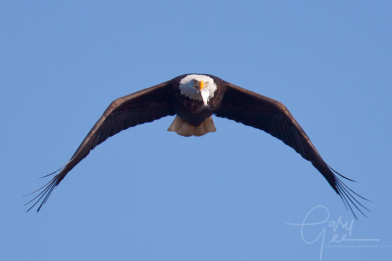 Bald Eagle, Got Fish?