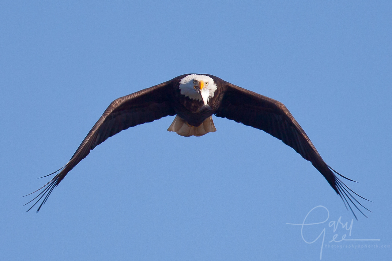 Bald Eagle, Got Fish?