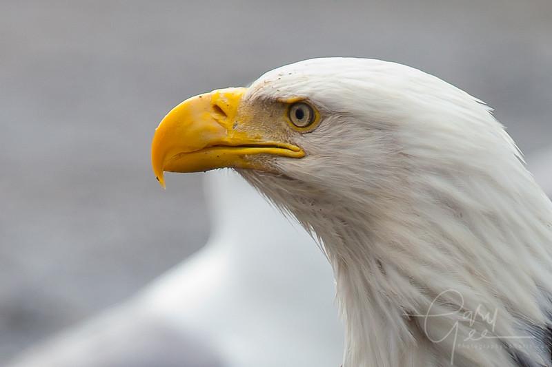 Eagle_Alaska29-
