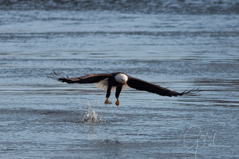 Bald Eagle with a nice one handed grab!