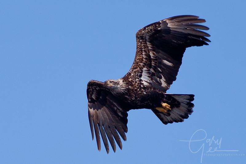 1Bald Eagle 38