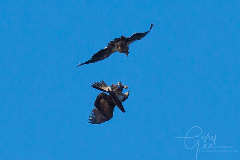 Bald_Eagle-39
