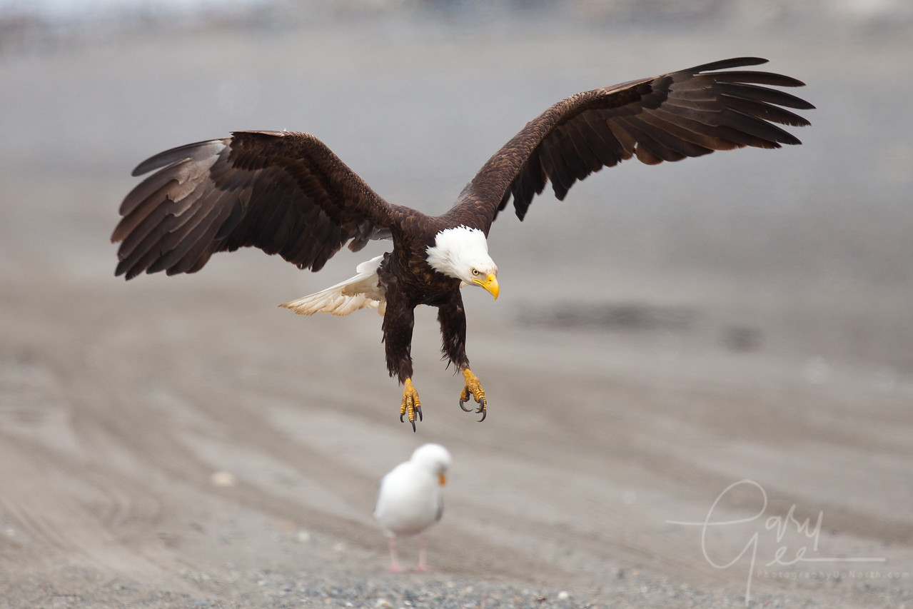 Bald Eagle dropping landing gear prior to setting down on a rocky beach
