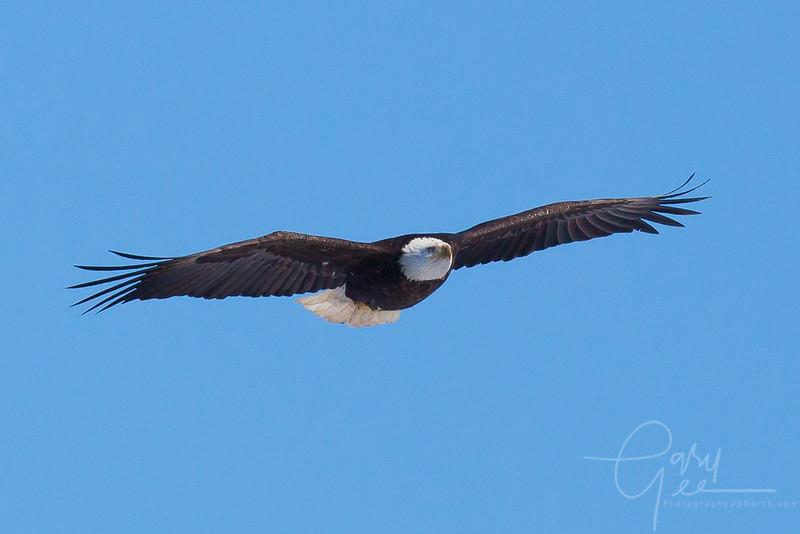 Bald_Eagle-25