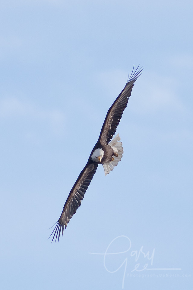 Bald Eagle - this sudden bank means quick business!