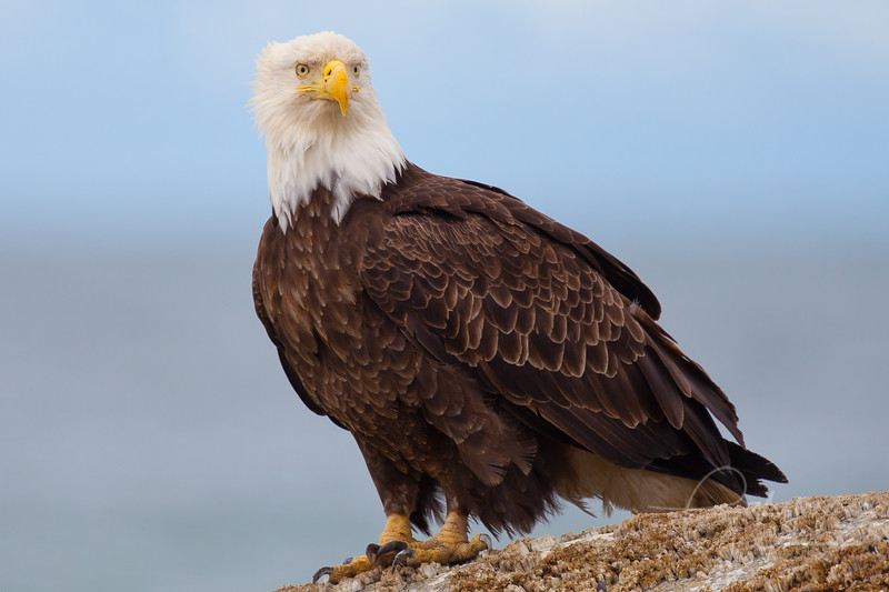 Bald Eagle perched on boulder in Ninilchik, Alaska