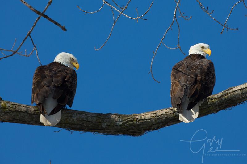 Bald_Eagle-44