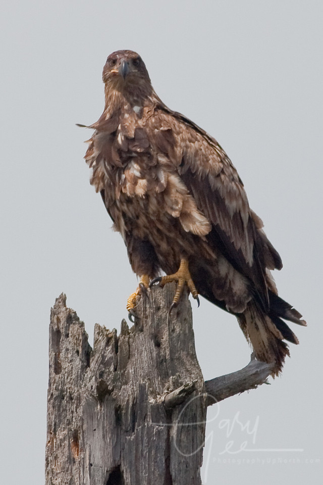 Immature Bald Eagle in Pigeon River Forest Country (May 2011)