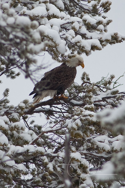 Bald Eagle - March winter day in Michigan. Notice the red beard as this eagle sits perched guarding a deer carcus.