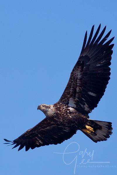 1Bald Eagle 39