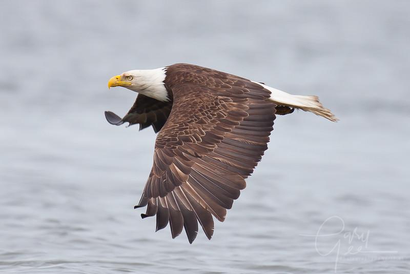 Eagle_Alaska62-