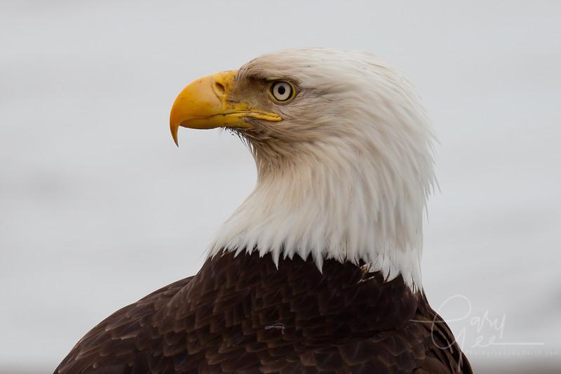 Eagle_Alaska31