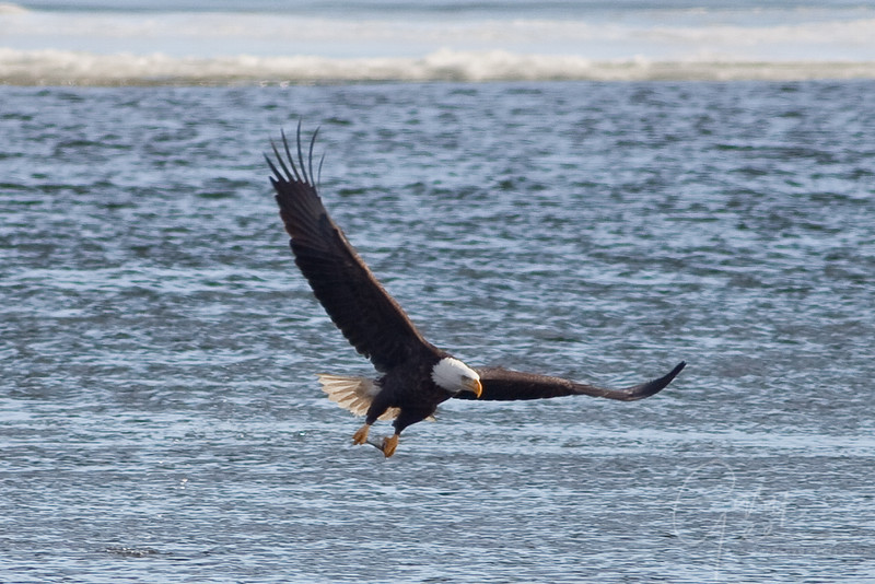 Bald Eagle and fresh caught lunch!