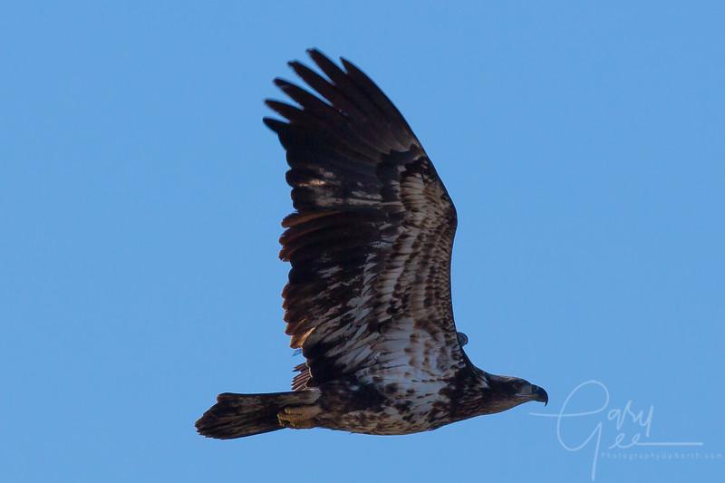 Bald_Eagle-11