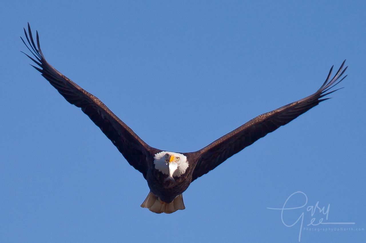 Bald Eagle with fish dinner!