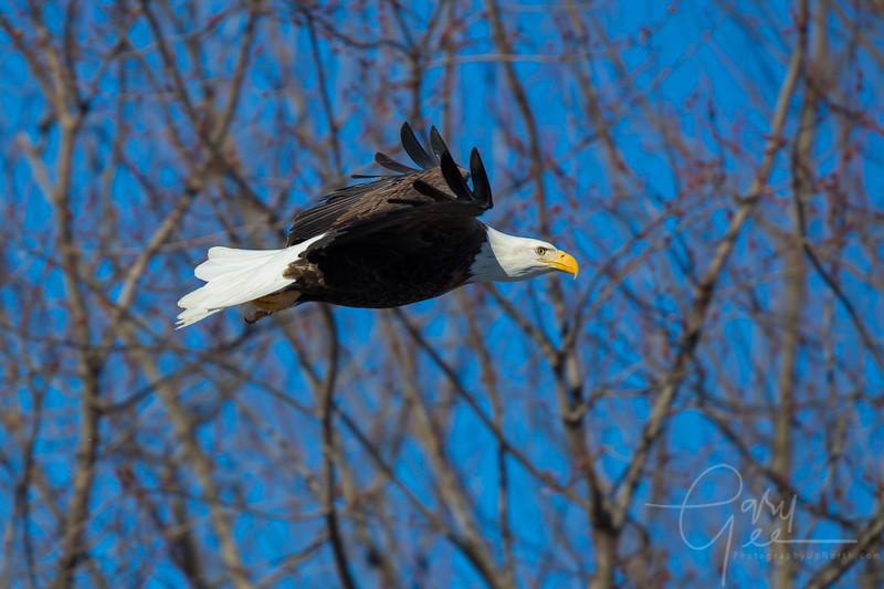 Eagle_2014-5
