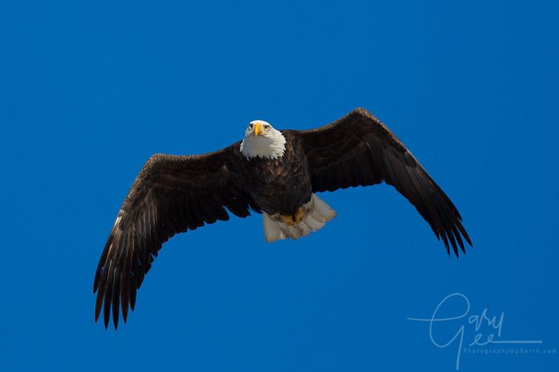 Eagle_2014-7