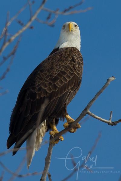 Bald_Eagle-46