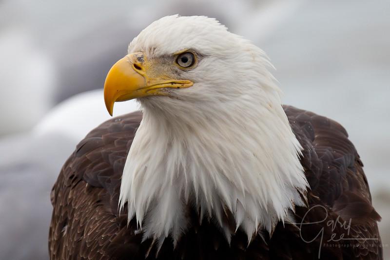 Eagle_Alaska34