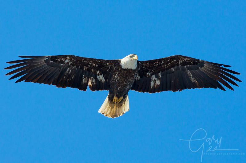 Bald_Eagle-33