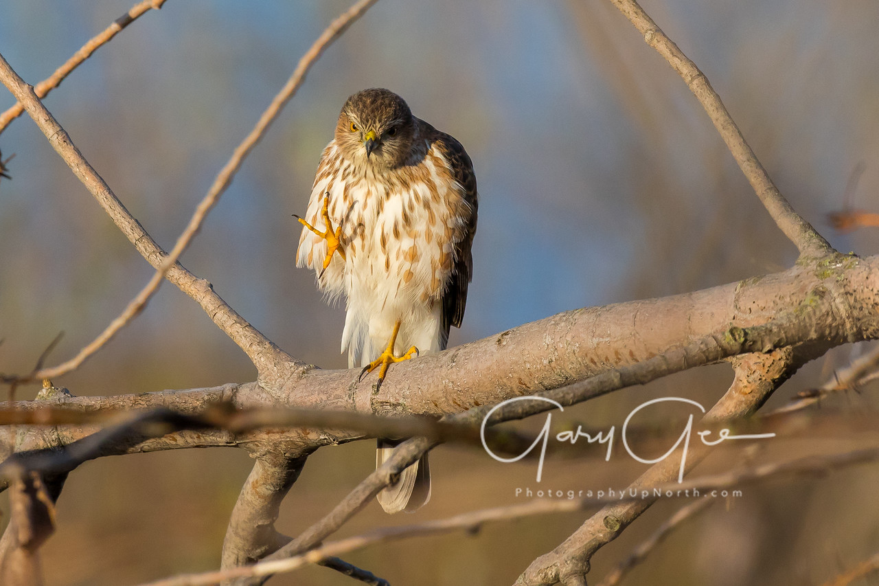 Cooper's Hawk Tawas Point 2017