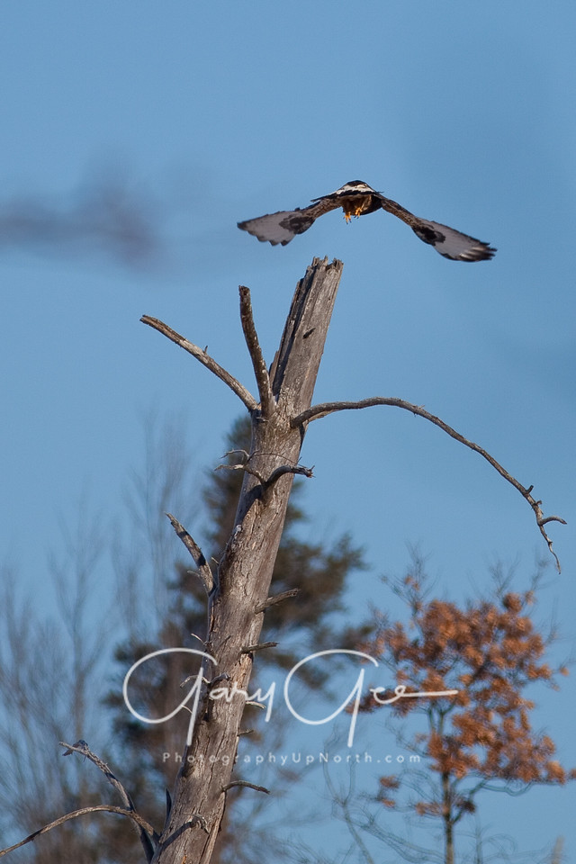Rough Legged Hawk leaving his perch