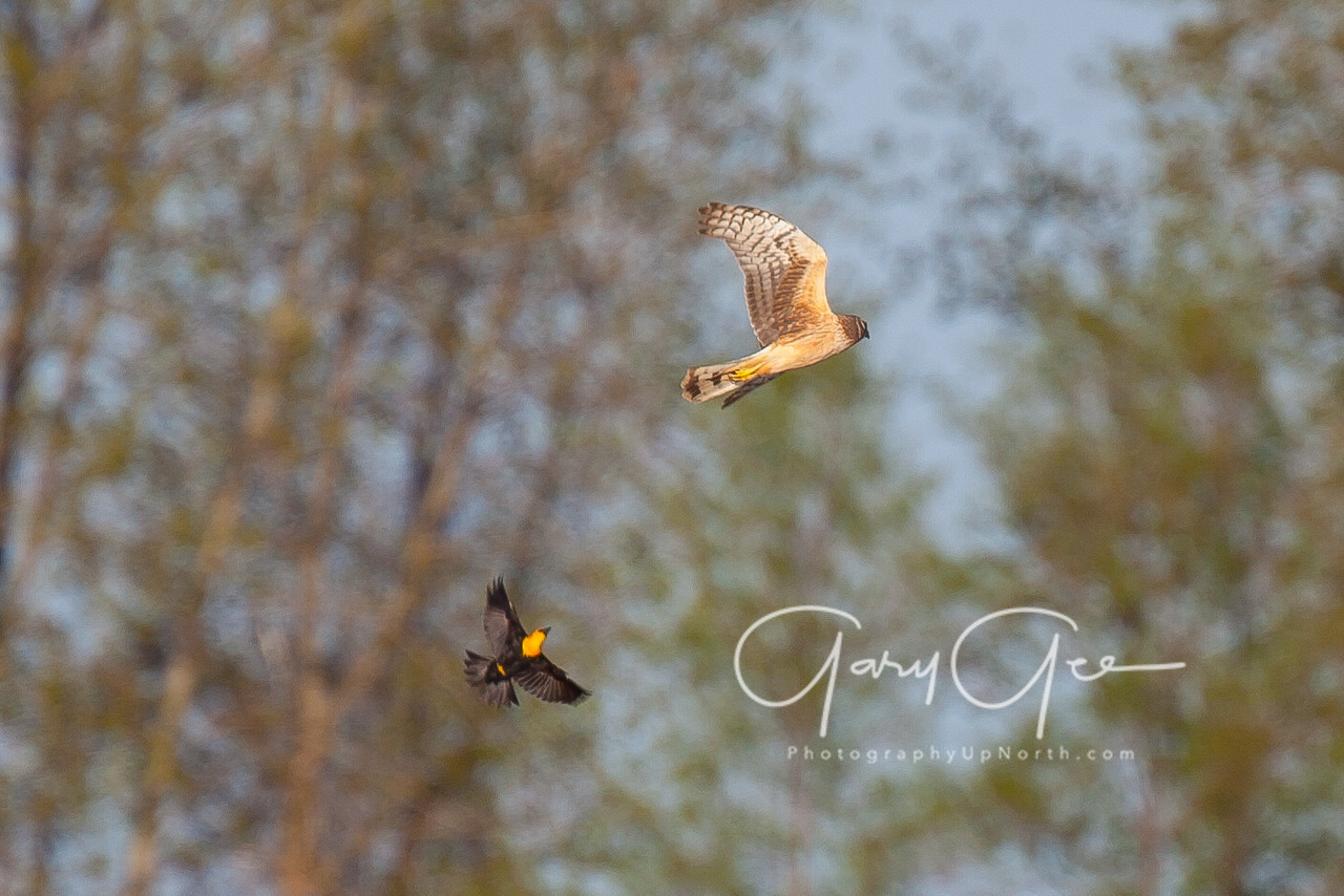 Northern Harrier being chased by a Yellow-headed Blackbird in Saginaw Bay