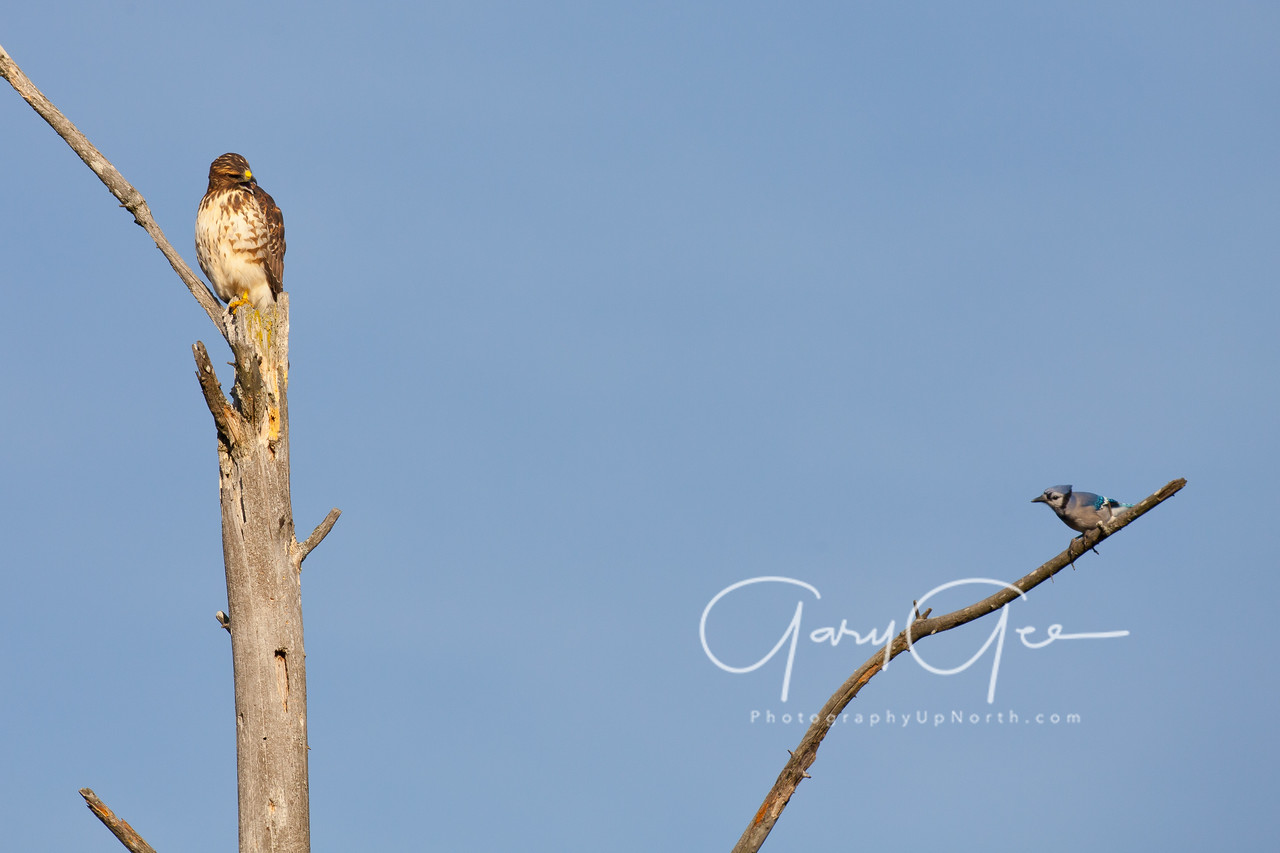 Red Tailed Hawk & Blue Jay waiting on the first move!