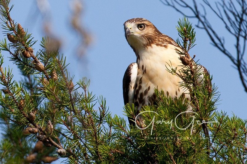 Hawk spots me in jack pines!