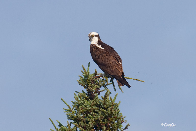 Osprey sits treetop over the Au Sable River scanning for a trout dinner in Grayling, MI.