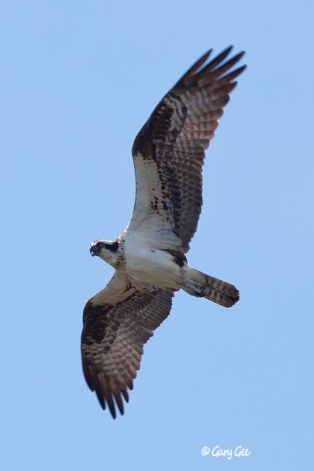 Osprey soars by
