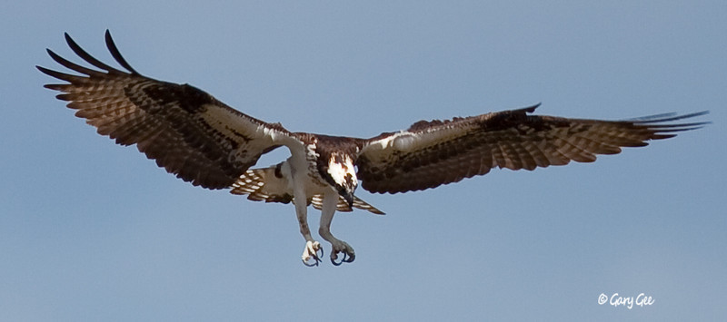 Osprey ready for the grab!