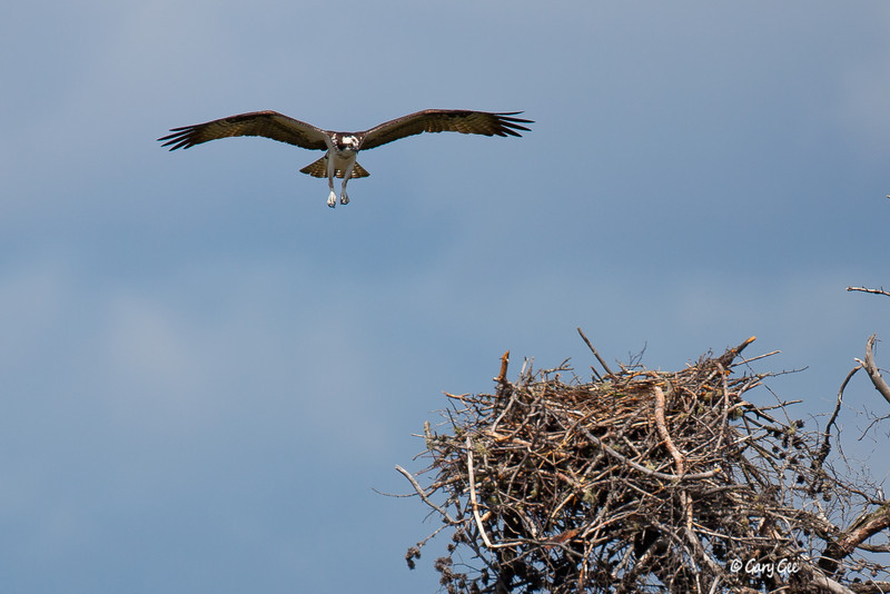 Osprey's return to the nest at Seney Wildlife Refuge in Michigan's U.P.