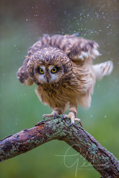 Short Eared Owl shaking the rain off