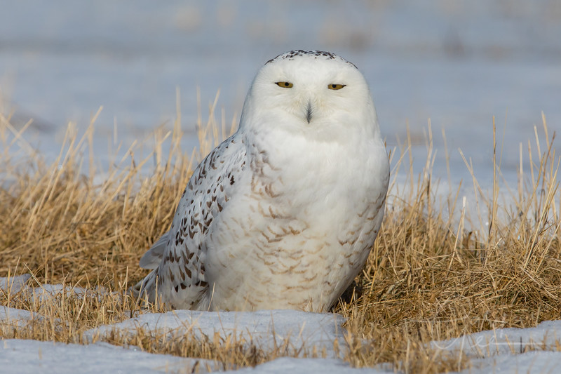 Snowy Owl - March 2018 Michigan